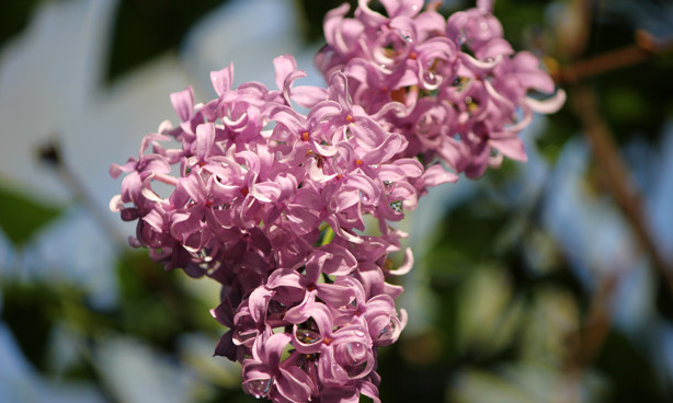 lilac photo, lilac beauty
