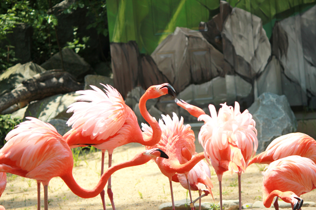 pink flamingos, maryland zoo,, day at zoo