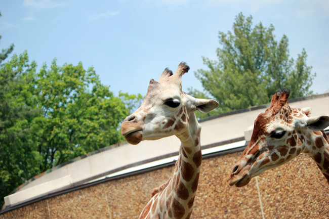 giraffes at Zoo, Maryland Zoo