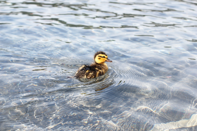 cute little duck